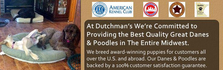 Dutchman S Danes And Poodles Poodle Puppies Pets
