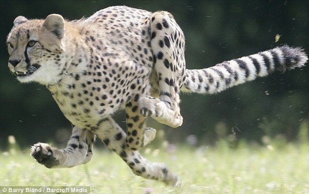 Cheetah at full running speed | Animal Love | Pinterest