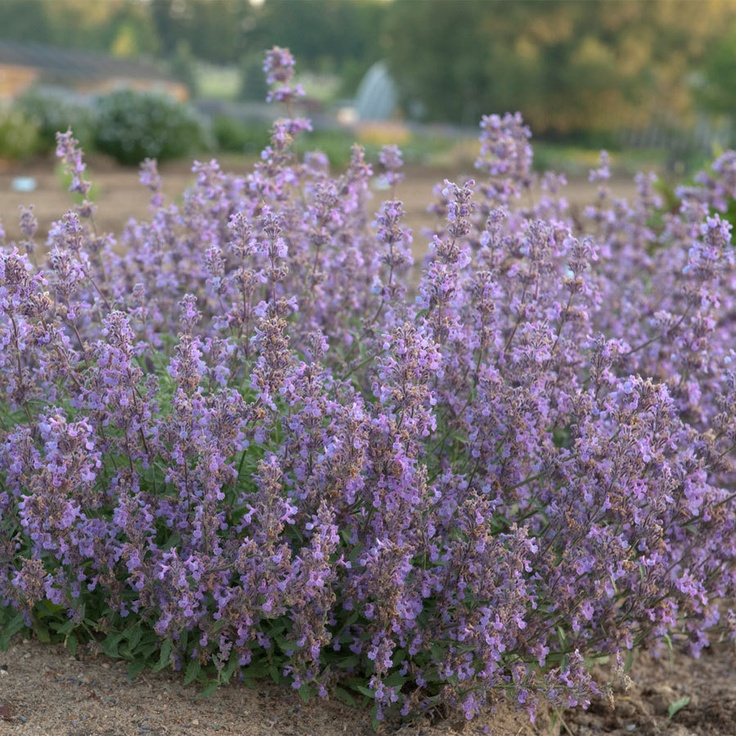 Nepeta Little Trudy® dwarf herb, looks like catmint, but