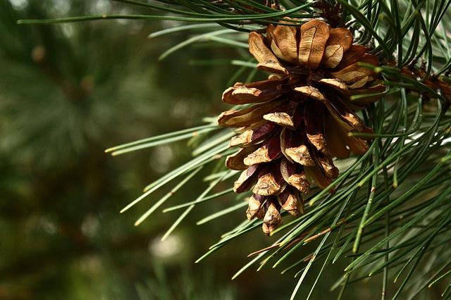Pine cone by mschellhase, via Flickr