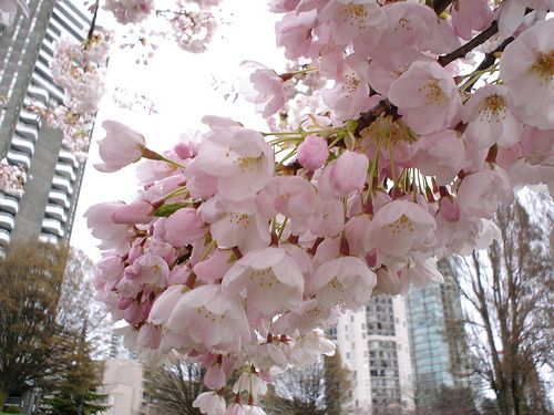 Photos of cherry blossoms at the Burrard Station. The Cherry Blossom Festival 2012 is happening in Vancouver right now. Click on the photo to read about the activities planned around this event.