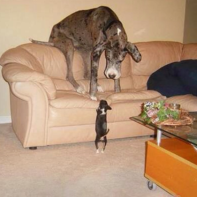 I'm gonna get you!  This reminds of me of my black lab and my little dachsund mix