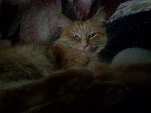 Сонная кошка.)