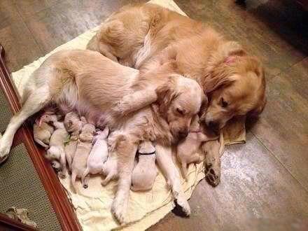 Golden Retriever family. how sweet!