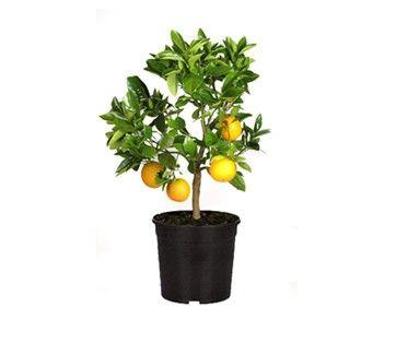 Arancio - Citrus sinensis - Vaso da 16 - Semilandia
