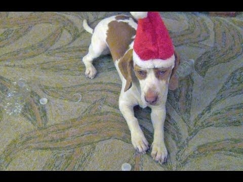 Maymo the lemon beagle makes a grumpy face on command, with the help of his Santa hat strap.