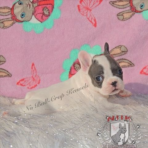 french bulldog puppies for sale in Houston Texas