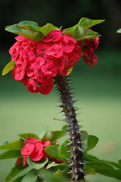 Crown of Thorns, Christ Plant, Christ Thorn (Euphorbia millii) Native to Madagascar it is suspected that the species was introduced to the Middle East in ancient times, and legend associates it with the crown of thorns worn by Christ.