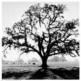"""""""Oak Tree, Sunrise"""" Art Print by Ansel Adams  - Iconic Photograph posters and prints available at Barewalls.com"""