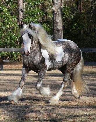 Silver-dappled! Gypsy Vanner