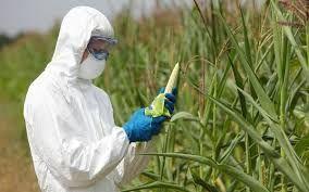 Los agricultores han adoptado a gran escala la tecnología de modificación genética.Entre 1996 y el 2013, la superficie total de tierra cultivada con cosechas modificadas genéticamente aumentó en un factor de 100, de 17,000km2 (4.2 millones de acres) a 1,750,000 km2 (432 millones de acres).1 En 2010, 10% de la tierra mundial cultivable se ha plantó con cosechas modificadas genéticamente.2 En EUA, en el 2014 , 94% de las habas de soja plantadas, 96% del algodón, y 93% del maíz fueron…