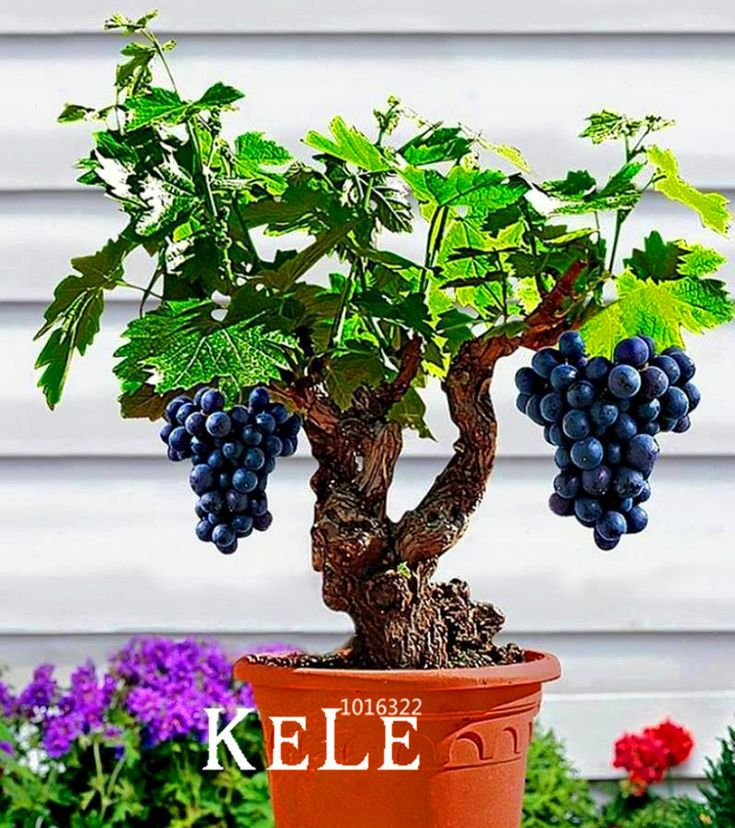 Loss Promotion!Miniature Grape Vine Seeds, PATIO SYRAH, Vitis Vinifera, Houseplant, 50 PCS/Bag, Fruit bonsai seeds,#LI8FZP #clothing,#shoes,#jewelry,#women,#men,#hats,#watches,#belts,#fashion,#style