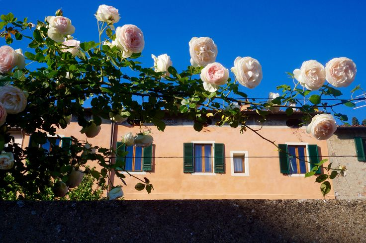 Spring Roses against a clear blue sky and frescoed buildings