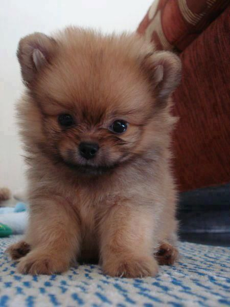 Cute little Pom puppy, looks like my Roxy did.... I miss that tiny teddy bear.