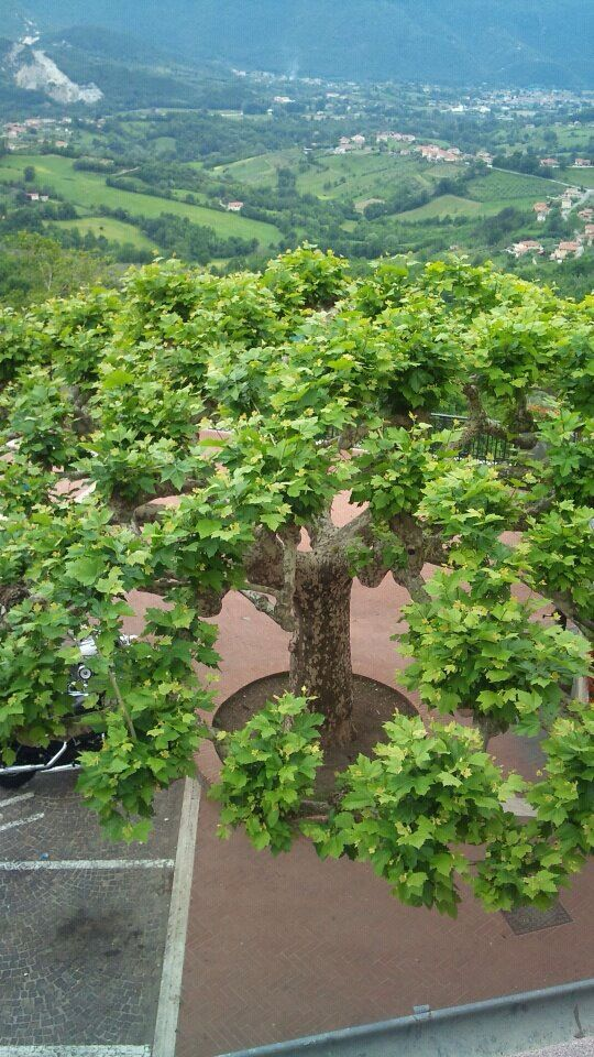 The Old Tree, Picinisco, #italy