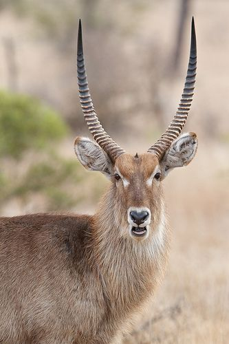 Kruger National Park. South Africa - Waterbuck (Kobus ellipsiprymnus)