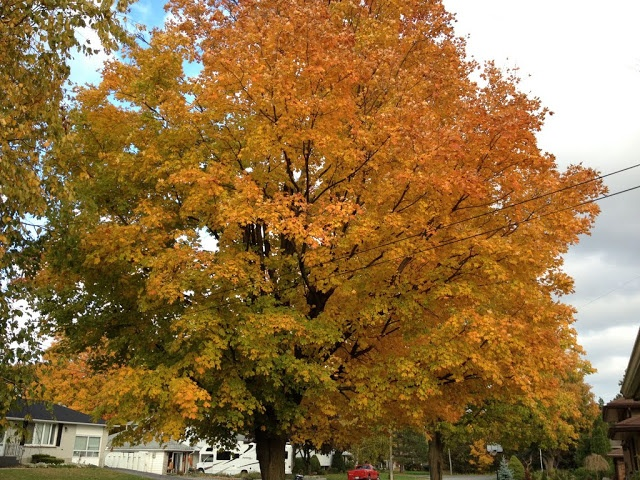 A maple tree's leaves changing to a beautiful gold.