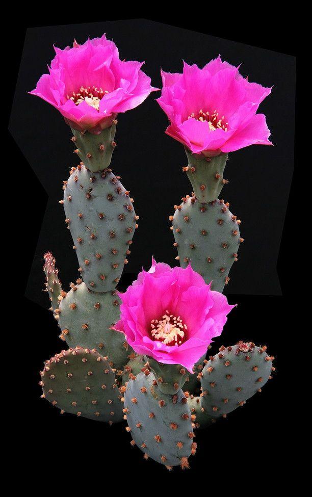 Opuntia brachyclada Griffiths 1914 (forma San Gabriel Mountains, California, U.S.A.) min.temp.(tested) <-12°C/< 10.4°F full sun, pink flower, alkaline soil,  1997 IUCN red list of threatened plants