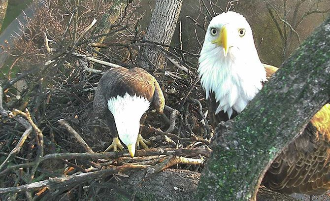 Washington DC Live Bald Eagle Cam. A pair of mated Bald Eagles named Mr. President and First Lady have built a nest in Washington, DC. Watch them raise their family of eaglets on our HD live nest cam 24 hours a day.