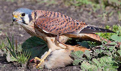 Kestrel with prey by Bill Bouton, Wikimedia Commons