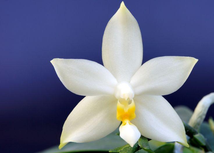 Phalaenopsis violacea fma. alba