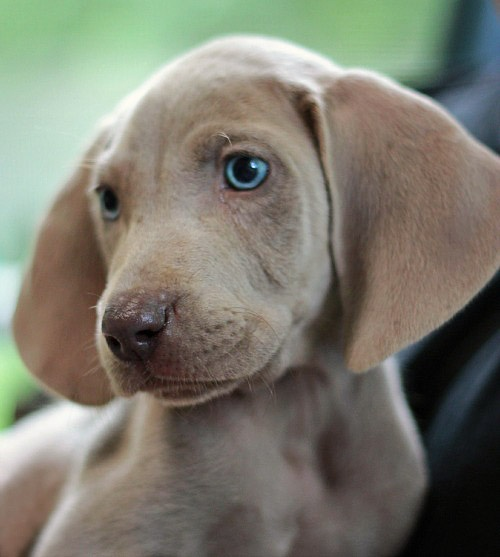 Little Nala- little sweet Weimaraner | Going to the Dogs ...