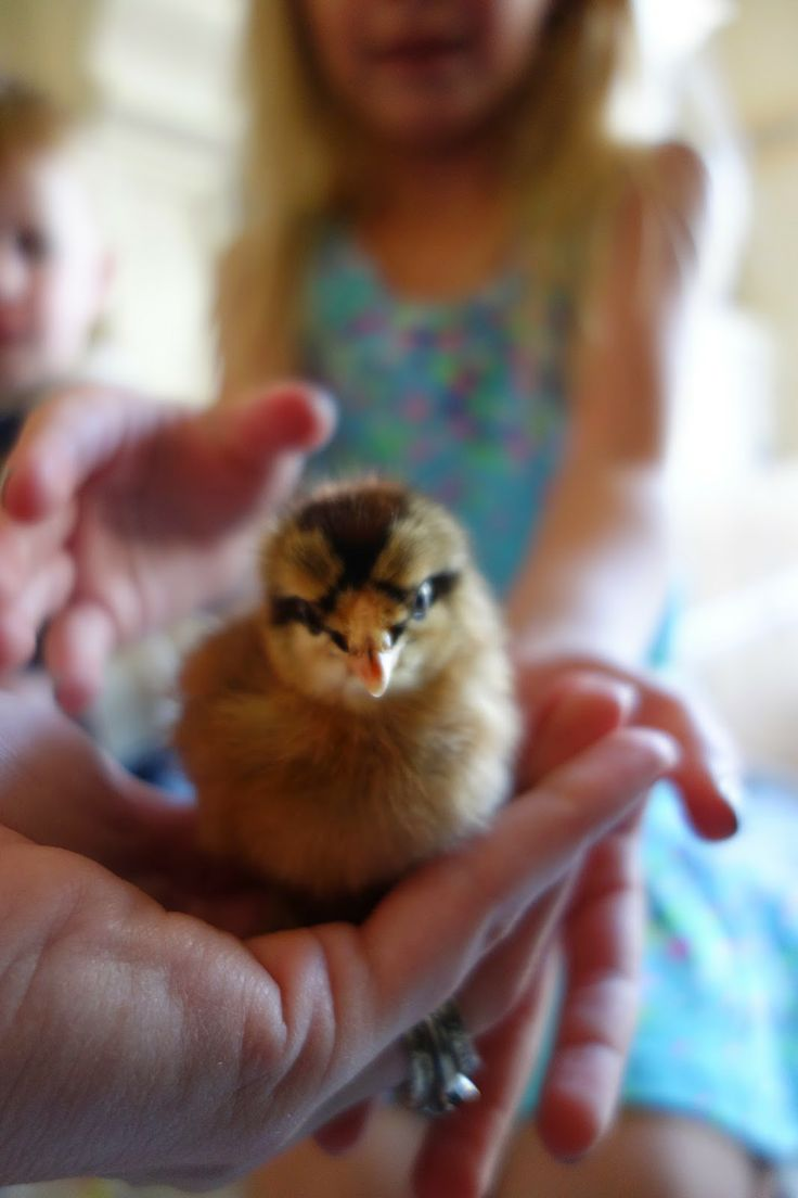 91 best backyard chickens images on pinterest backyard chickens