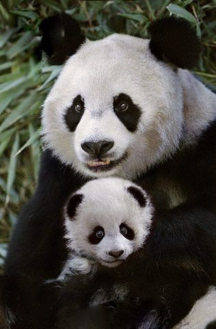 Pandas (by Steve Bloom)