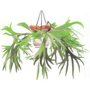 El helecho australiano es una de las especies más originales que se conocen. Es una planta muy decorativa, a la cual también se la conocer como helecho cuerno de alce.