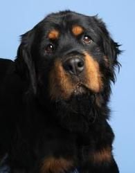 Adopt Roscoe On Food And Beverage Pinterest Rottweiler Dogs