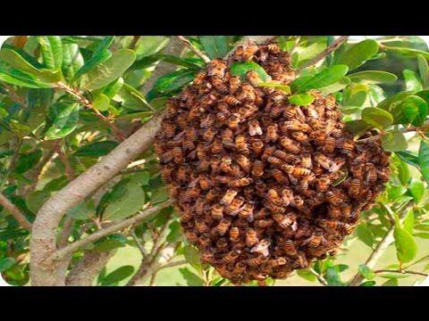 Superb Tutorial de extracion de panal de abejas con la tecnica pinza YouTube