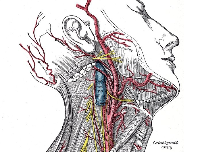 Cricothyroid branch of superior thyroid artery