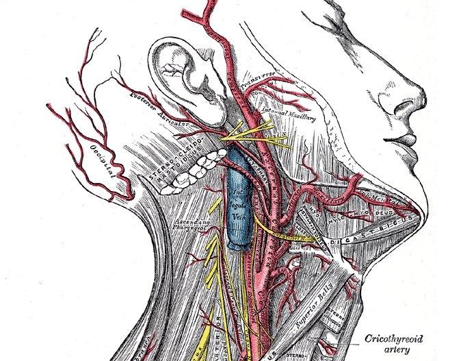 Cricothyroid branch of superior thyroid artery