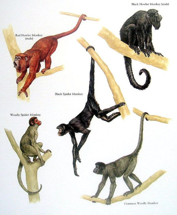 Monkeys - Red Howler Monkey, Black Spider Monkey, Common Wooly Monkey, Woolly Spider Monkey - Vintage 1984 Animal Book Plate
