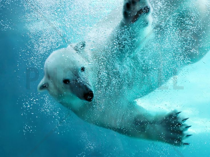 Underwater Polar Bear - Fototapeter & Tapeter - Photowall