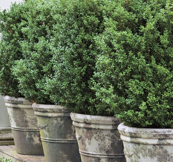 potted boxwoods - year-round green for the patio