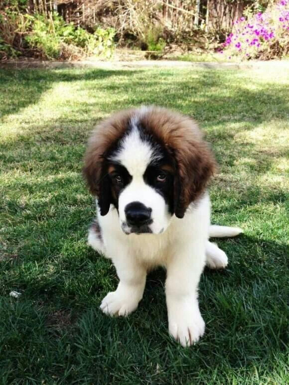 59 best Breed Board: St. Bernard images on Pinterest | Saint ...