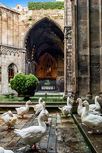 Ocas al Claustre de la Catedral, Barcelona Catalonia. Barcelona is an enchanting seaside city with boundless culture, fabled architecture, and a world-class drinking and dining scene... Read more: http://www.lonelyplanet.com/spain/barcelona#ixzz3MdiGNoXx