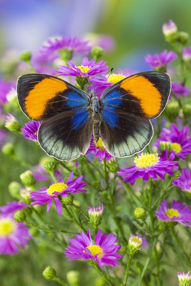 Tropical Butterfly, Callithea sapphira,  Photographed by Darrell Gulin