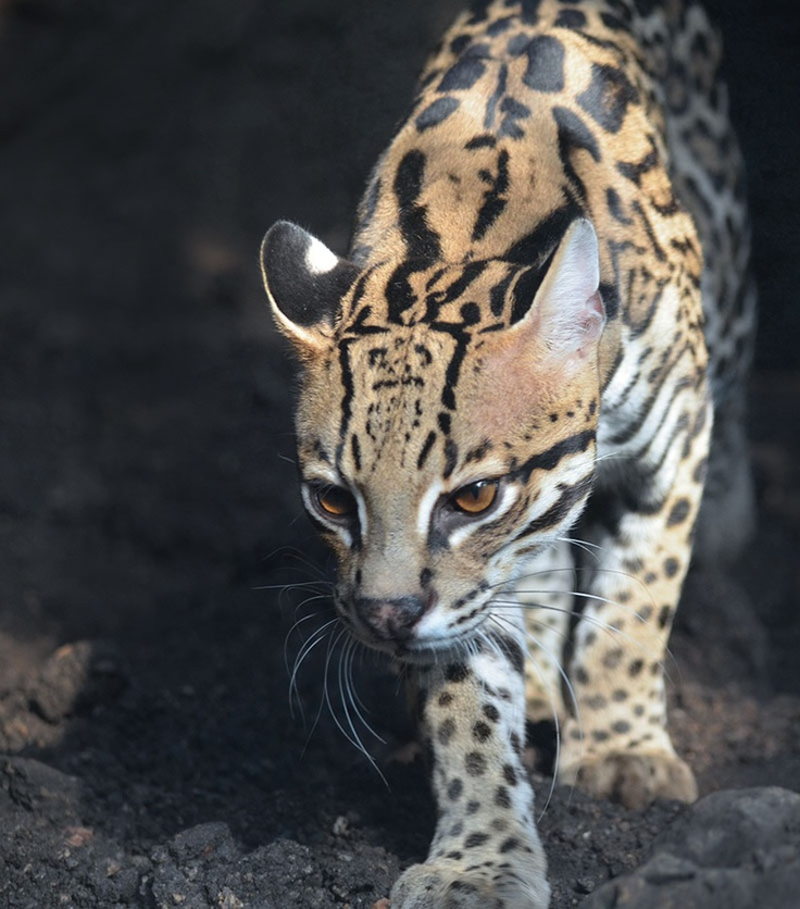 how to turn a ocelot to a kitten