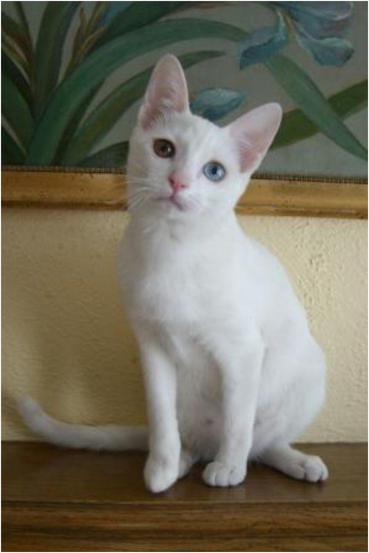 Best 25 Rare cat breeds ideas on Pinterest