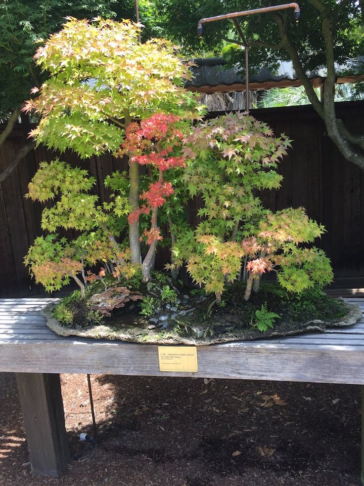 1446 Best Images About Bonsai On Pinterest Bonsai Trees Japanese Maple Bonsai And Pine Bonsai