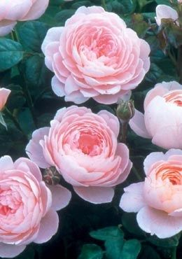Roseola flowers recipes for salmon