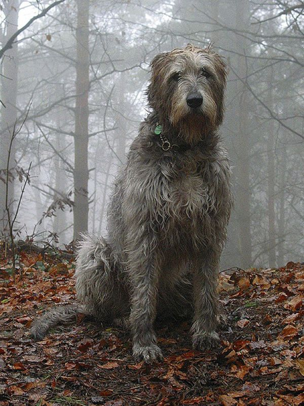 Amazing Irish Wolfhounds ~ One of the national animals of Ireland. Learn more about them at: http://bowwowtimes.com/2015/03/18-amazing-irish-wolfhounds/