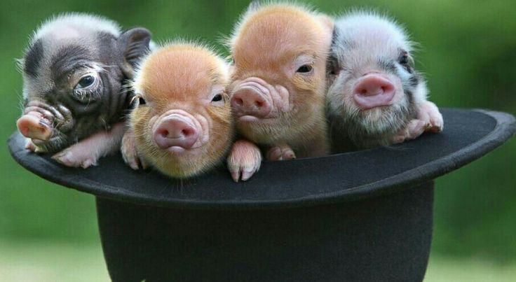 Adorable piggotts....