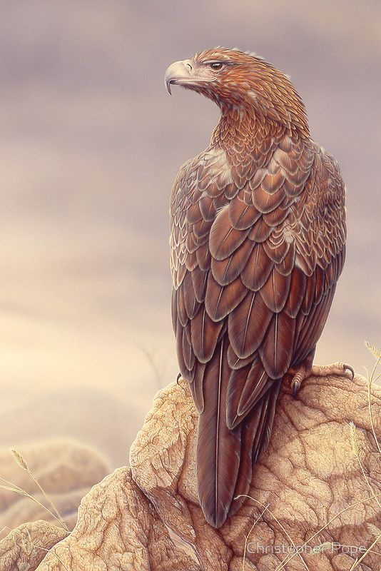 <3 Wedge-tailed Eagle ~ by, Christopher Pope..So realistic <3