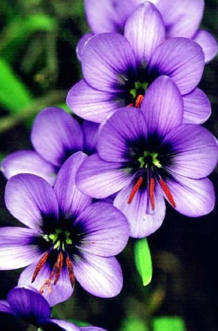 Geissorhiza splendidissima, locally called Blue pride of Nieuwoudtville..These magnificent purple purple flowers bloom on a bulbous plant of the Northern Cape of South Africa.