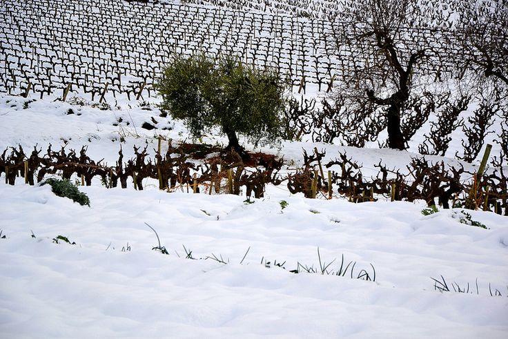 Nevada 4 de Febrer, olivera i vinya.