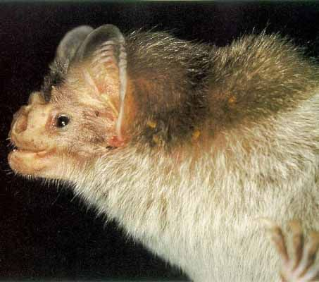 bat mammal photos   There are three different species of vampire bats: the white-winged ...