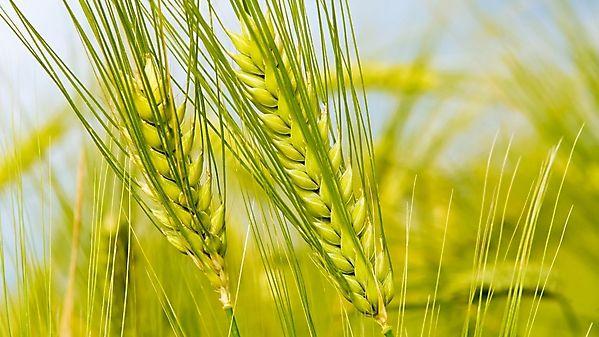 Зеленые колоски в поле — Фоны для презентаций